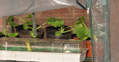 Courgetteplantjes