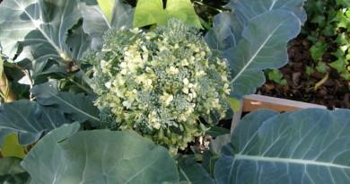 Doorgeschoten broccoli