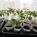 Romaatje plantjes doen het goed