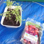 Tomatenplantjes van Romaatjes van AH