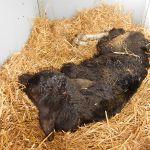 Pasgeboren kalfje op de boerderij
