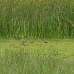 Kievitsjongen in de Lauwersmeer bij het Jaap Deensgat